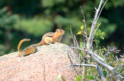 Chipmunk and Young Chipmunk Stock Images