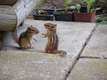 chipmunks παίζοντας στοκ φωτογραφίες