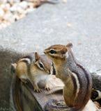 chipmunks восточные Стоковые Изображения RF
