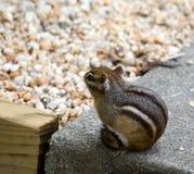 chipmunks восточные стоковое изображение