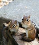 chipmunks восточные Стоковое Фото