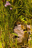 Chipmunks. Two Chipmunks Greeting in Grassy Setting Royalty Free Stock Image