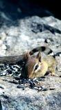 chipmunks Image libre de droits