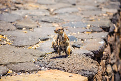 Chipmunks on Cofete beach Stock Images