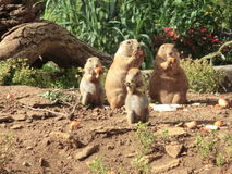 Chipmunks eating. A family of cute chipmunks eating Royalty Free Stock Images