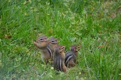 Chipmunks Royalty Free Stock Photo