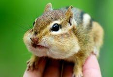 Chipmunks on hand. This photo was taken at Royal Botanical Garden, Hamilton, Ontario Royalty Free Stock Photos