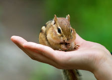 Chipmunks on hand. This photo was taken at Royal Botanical Garden, Hamilton, Ontario Royalty Free Stock Image