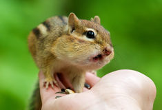 Chipmunks on hand Royalty Free Stock Photos