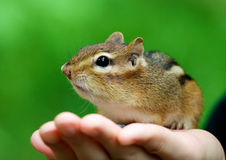 Chipmunks on hand Stock Photo