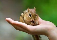 Chipmunks na mão Imagem de Stock Royalty Free