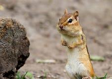 Chipmunks standing. This photo was taken at Royal Botanical Garden, Hamilton, Ontario Stock Image