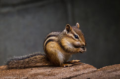 Chipmunks and sunflower seeds go together Stock Images