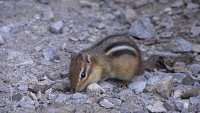 Chipmunks, Wild Animals, Nature Stock Photography