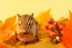 Chipmunnk in Autumn Royalty Free Stock Photo