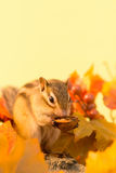 Chipmunk eating a walnut Royalty Free Stock Photography