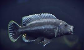 Chipokae de Melanochromis Fotografía de archivo