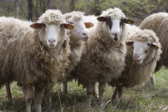 Chipped sheep Stock Images