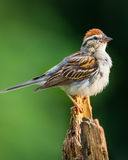 Chipped Sparrow. A Chipped Sparrow perched on on a pine stump Royalty Free Stock Image