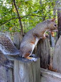 Chipper squirrel. Rescue squirrel about to go bury a peanut Stock Photos