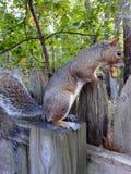Chipper squirrel Stock Photos