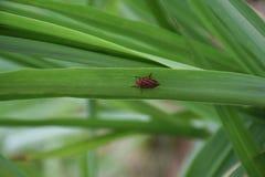 Chippewa сахарного тростника как знайте как cana de Cigarrinha da açúcar Научное имя: Fimbriolata Mahanarva стоковые изображения