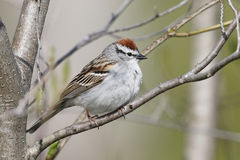 Chipping Sparow perched in a tree. Chipping Sparow (Spizella passerina) perched in a tree - Ontario, Canada stock photography