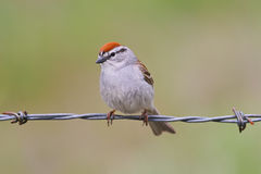 Chipping Sparrow. Perched on barbed wire stock photos
