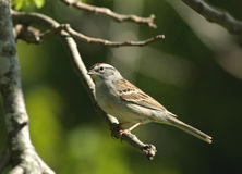 Chipping sparrow. Perched in a Missouri walut tree Stock Photo