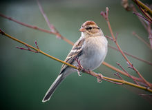 Chipping Sparrow. A Chipping Sparrow perched on a tree stock photo