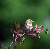 Chipping Sparrow. Picture of a Chipping Sparrow ( Spizella Passerina) eating Stock Photography