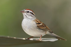 Chipping Sparrow. (Spizella passerina) with a green background royalty free stock images