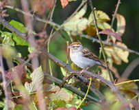Chipping Sparrow Stock Image