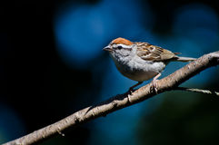 Chipping Sparrow Against A Blue Background Stock Images