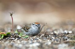 Chipping Sparrow bird eating seeds, Athens GA, USA. Chipping Sparrow, Spizella passerina, songbird eating bird seed off the ground in Athens, Georgia, USA royalty free stock image