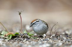 Chipping Sparrow bird eating seeds in grass, Athens GA, USA. Chipping Sparrow, Spizella passerina, songbird eating bird seed off the ground in Athens, Georgia stock photos
