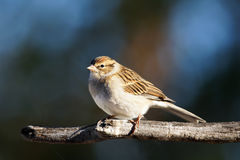 Chipping sparrow on branch. Chipping sparrow, Spizella passerina, little bird on a branch royalty free stock photos