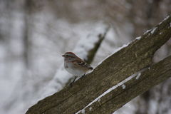 Chipping Sparrow, broken fence. Stock Image