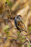 Chipping Sparrow. Calling on a brown budding thin thorny twig at sunrise in a bright meadow royalty free stock photos