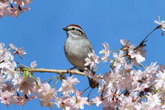 Chipping Sparrow With Cherry Blossoms. Chipping Sparrow (Spizella passerina) perched on a branch with cherry blossoms royalty free stock image