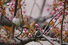 Chipping Sparrow in cherry tree. Chipping Sparrow (Spizella passerina passerina), Eastern subspecies, spring migrant in breeding plumage sitting in cherry tree ( Royalty Free Stock Image