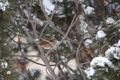 Chipping Sparrow in December. Ruffled feathers Chipping Sparrow December royalty free stock photos