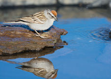 Chipping Sparrow drinking water, with reflection Stock Photo