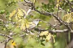 Chipping Sparrow. Early winter chipping sparrow sitting in the marsh reeds mid day Royalty Free Stock Image
