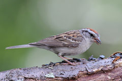 Chipping Sparrow Eating Seeds. A chipping sparrow (Spizella passerina) perching on a branch in summer, eating seeds stock image
