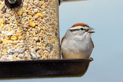 Chipping sparrow eating Royalty Free Stock Images