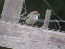 Chipping Sparrow. Eating worm royalty free stock image
