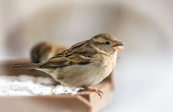 Chipping Sparrow. A Chipping Sparrow feeding on seeds form a bied feeder royalty free stock photos
