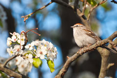 Chipping Sparrow. A Chipping Sparrow in a flowering tree royalty free stock photos