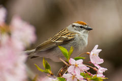 Chipping Sparrow. A Chipping Sparrow in a flowering tree royalty free stock photo